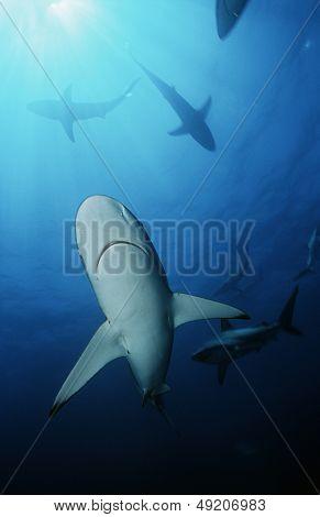 Blacktip sharks (carcharhinus limbatus) underwater view