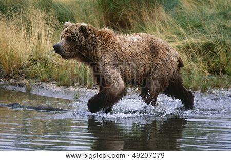 USA Alaska Katmai National Park Brown Bear running across water side view