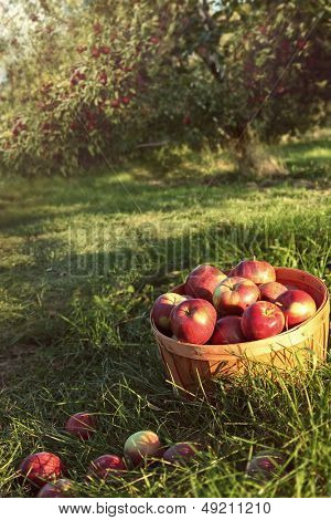 Bushel of red apples in the orchard