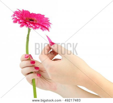 Woman hands guesses on pink chamomile , isolated on white
