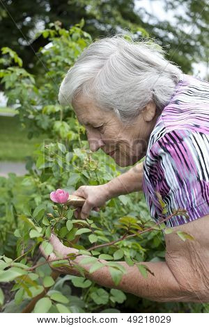 Sneior Woman Looking At Pink Rose In Garden