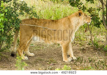 Young female lion