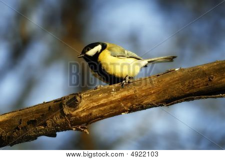 Tomtit On Tree