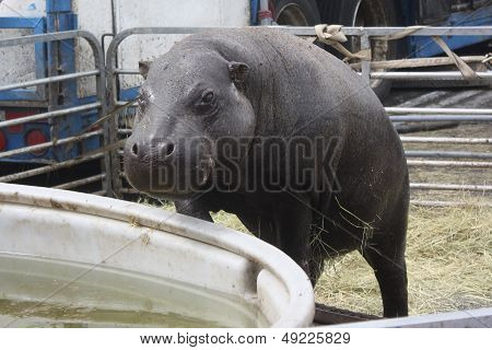 Hippo Climbing Into Pool