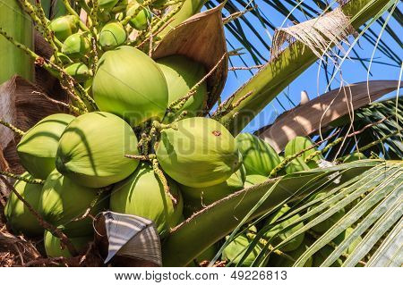 Green Coconut On Coconut Tree, Closeup