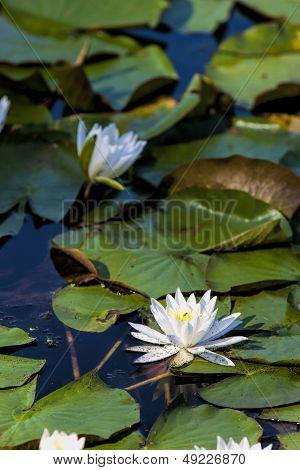 Water Lily Among Lily Pads.