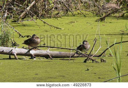 Two Wood Ducks On Log.