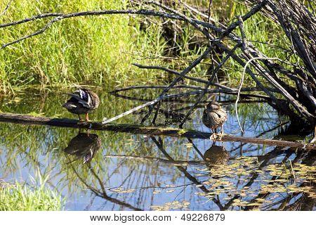 Ducks On Floating Log.