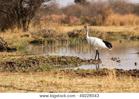 African Sacred Ibis - Threskiornis Aethiopicus