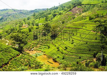 green terrace tea fields in Sri Lanka