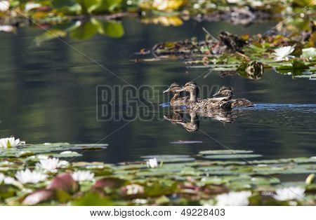 Ducks Swimming In Lake.
