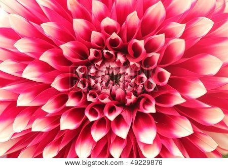 Macro(closeup) Of Dahlia Flower With Pink Petals Arranged In Circle