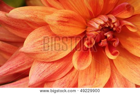 Beautiful Yellowish Orange Dahlia Flower Closeup(macro)