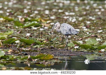 Heron Stands In Wetland.