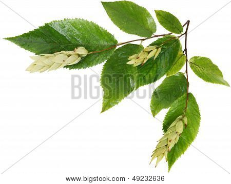 Ironwood Fruits And Leaves