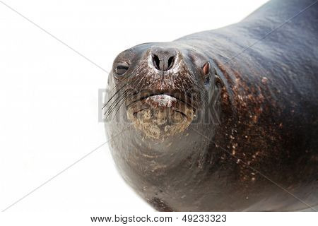 sea lion isolated over white