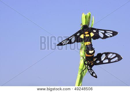 wasp moths mating