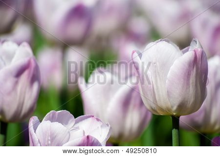 Close-up View Of Light Lilac Tulips In Spring