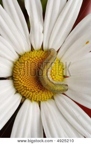 Caterpillar On The English Daisy