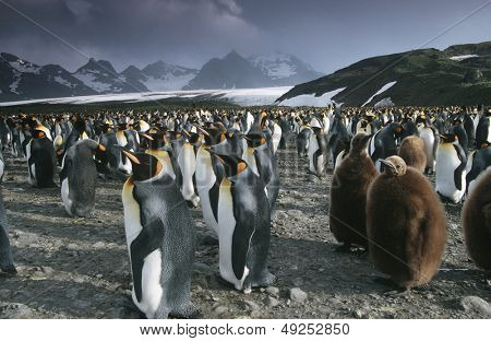 UK South Georgia Island colony of King Penguins