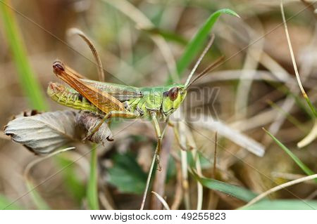 El saltamontes moteado (Myrmeleotettix maculatus)