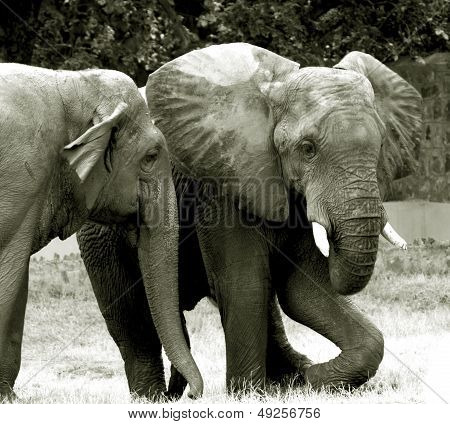 Elephant couple