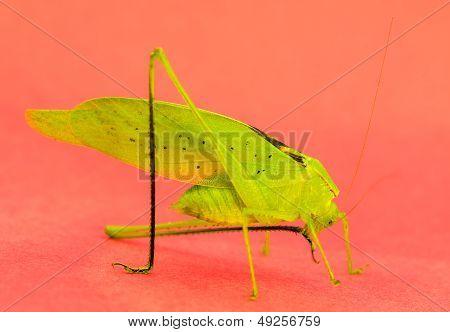 Green Katydid Grooming leg