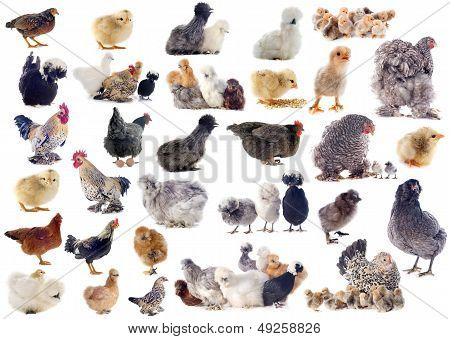 Group Of Bantam