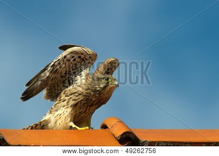 Kestrel, The Juvenile