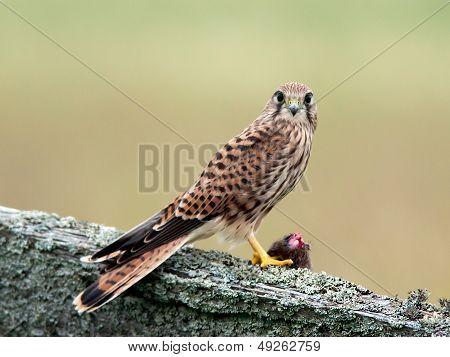 Kestrels Catch (Falco tinnunculus)