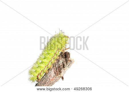 Lo Moth Caterpillar