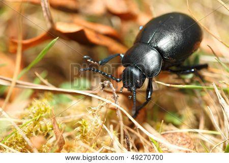 Bloody Nose Beetle (Timarcha tenebricosa)