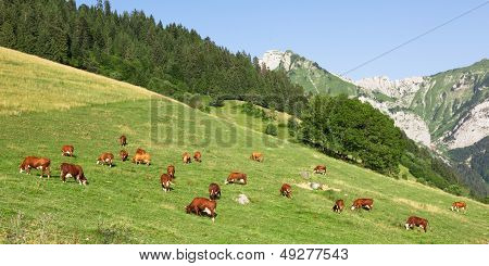 Cows Wearing Bells Are Grazing In A Beautiful Green Meadow In The Alps