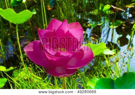 Pink Lotus in White Lake Bac Binh District.