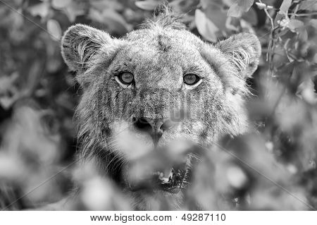 Angry Lion Stare Through Leaves Ready To Kill Artistic Conversion