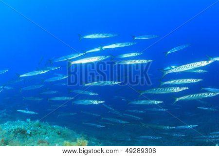 School of Barracuda Fish in Mediterranean Sea