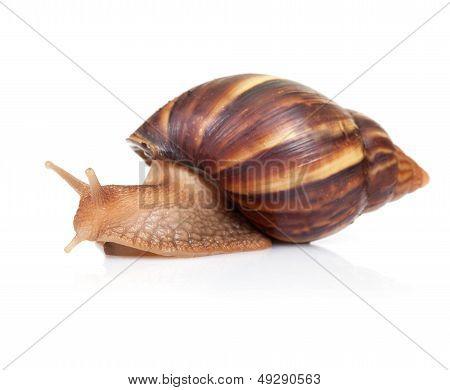Big Brown Snail Crawls On White Background