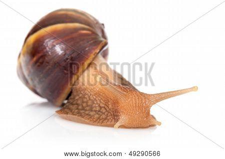 Macro Photo Of Big Brown Snail Crawls On White Background