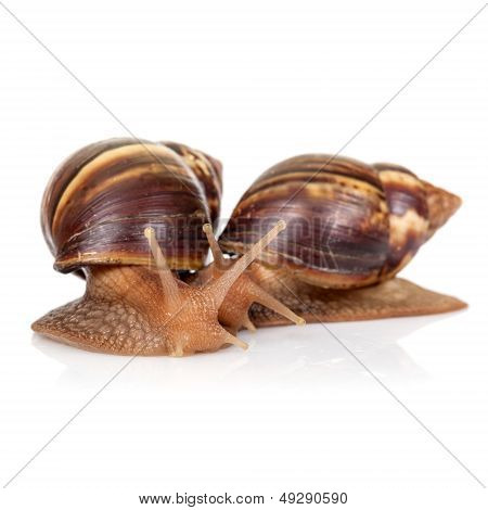 Two Snails Isolated On White, Closeup Photo