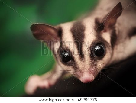 Closeup Portrait Of Small  Sugar Glider (petaurus Breviceps). Omnivorous, Arboreal Gliding Possum