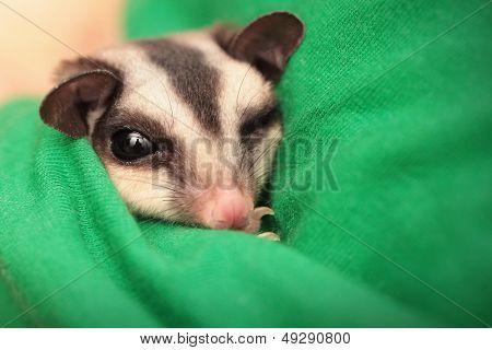 Small Sugar Glider (petaurus Breviceps) Sleeps In Green Vets Uniform