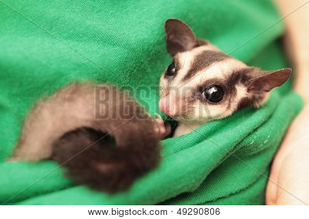 The Sugar Glider (petaurus Breviceps) Lies In Green Vets Uniform