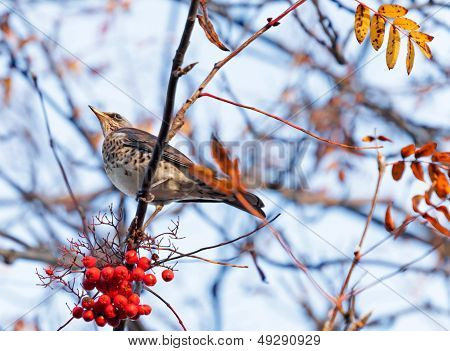 The Fieldfare (turdus Pilaris) With Red Berry