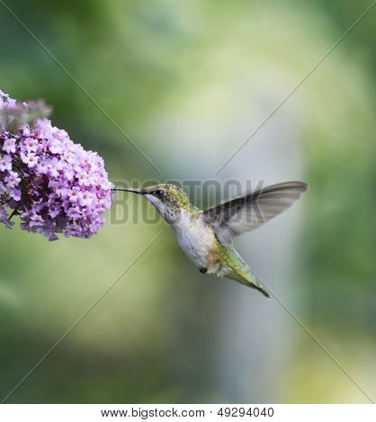 Ruby Throated Hummingbird Female (Archilochus Colubris)
