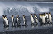 pic of atlantic ocean beach  - UK South Georgia Island colony of King Penguins marching on beach side view - JPG