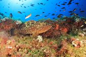 stock photo of grouper  - Dusky Grouper  - JPG