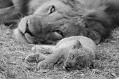 picture of leo  - Black and white image of a cute lion cub resting the the grass with it - JPG