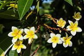 stock photo of frangipani  - Frangipani Plumeria Spa Flower , photo form thai