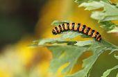 stock photo of moth larva  - A Cinnabar Moth Larva  - JPG