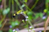 stock photo of hawk  - Close up of Pellucid Hawk Moth or Greenish hyaline hawk moth or Bee hawk moth  - JPG